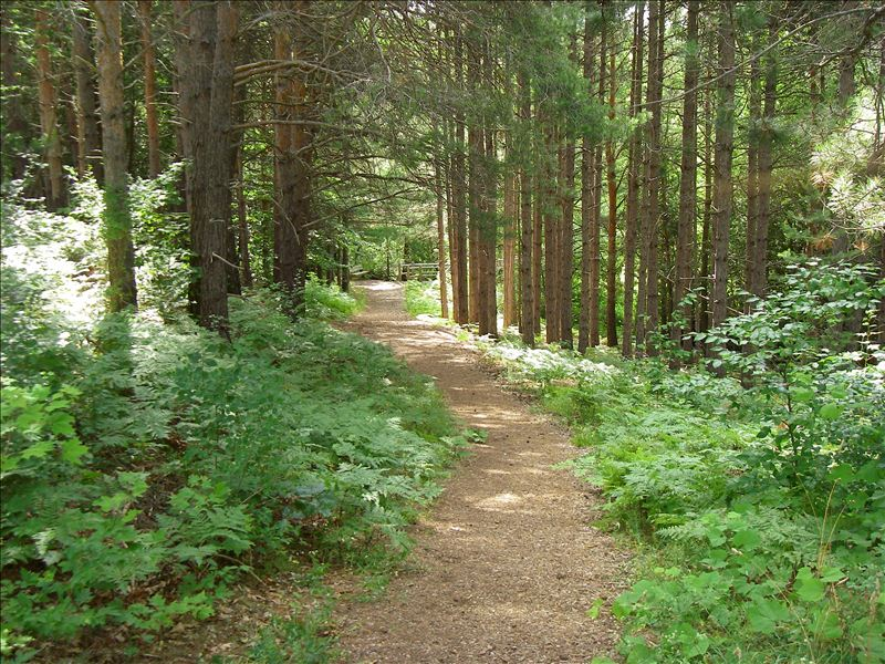 Pathway though Red Pines at Miller Creek Nature Reserve